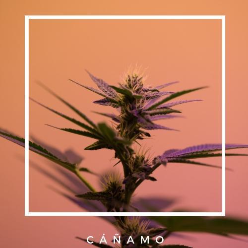 content_canamo-eco