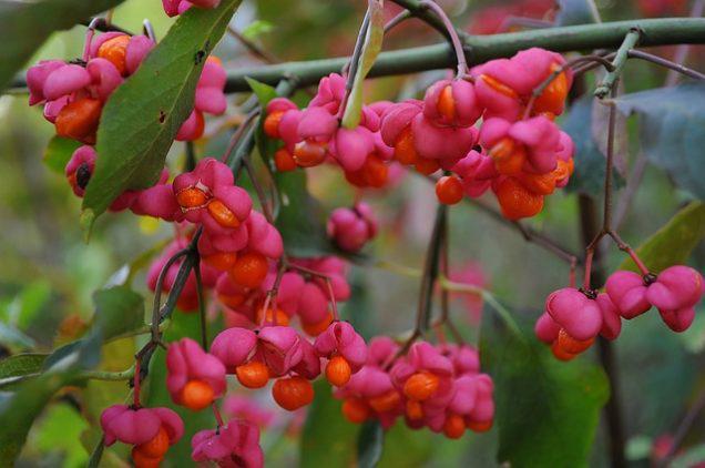 pink-fruits-4499092_640-e1611674701630
