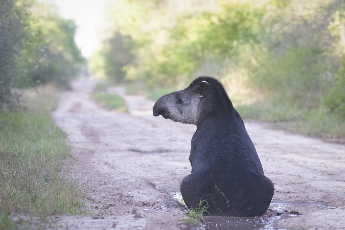 Gerardo-Cerón-El-Impenetrable-tapir-2019-103-2-1-1200x800